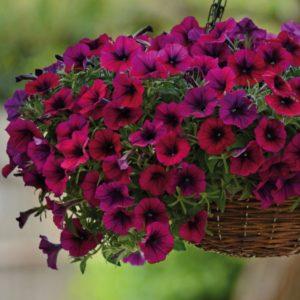 петуния цветы однолетние растения однолетники рассада клумба