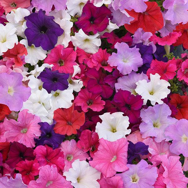 Петуния силикагель сушка цветы сухоцветы однолетние растения