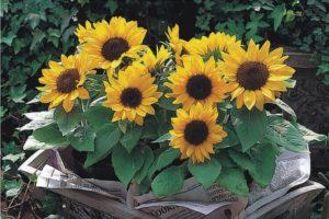 подсолнухи цветы однолетние растения однолетники рассада клумба