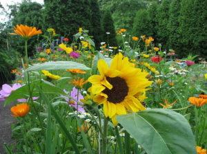 Размножение однолетников подсолнух клумба цветы однолетние растения
