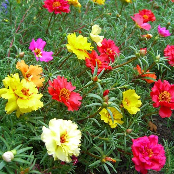 Портулак цветы однолетние растения однолетники рассада клумба
