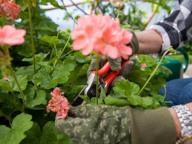 прищипывание герань уход сад однолетние растения цветы ароматный