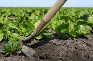 тяпка мотыга прополка салат земля грядка сорняки