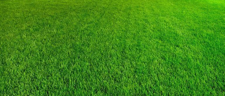 Росичка на газоне