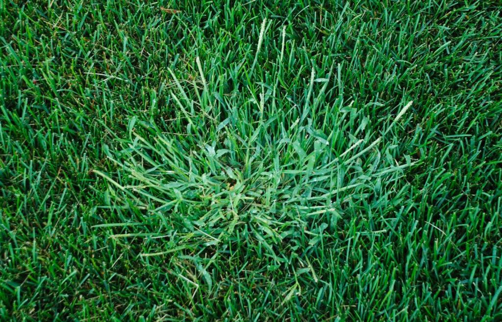 газон сорняк росичка песчаная удобрение уход трава