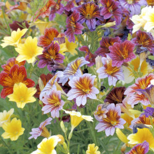Сальпиглоссис цветы однолетние однолетники растения