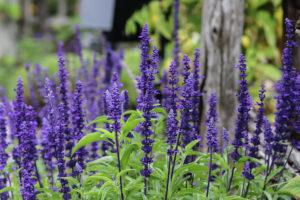 Шалфей дубравный цветы однолетние однолетники растения
