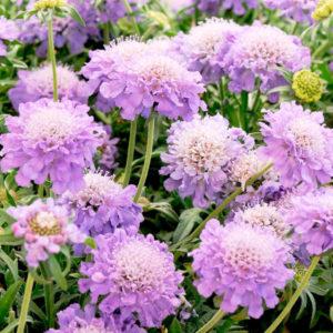 Скабиоза цветы однолетние растения однолетники рассада клумба
