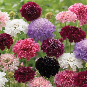 Скабиоза цветы однолетние однолетники растения