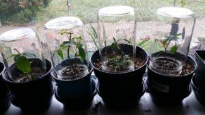 Размножение однолетников банка подоконник стеблевые черенки