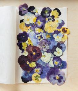 Анютины глазки сухоцветы сухие цветы растения прессованные