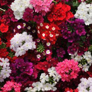 Вербена силикагель сушка цветы сухоцветы однолетние растения